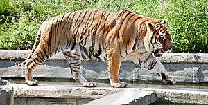 Walking Tiger (Panthera Tigris) Royalty Free Stock Photography - Image: 20130087