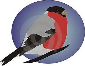Beautiful Bullfinch Stock Photo - Image: 20130910