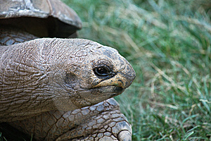 The Giant Turtle Royalty Free Stock Images - Image: 20133859