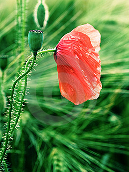 Red Poppy Stock Images - Image: 20137094