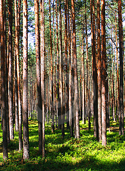 Pine Wood - Russia Stock Photography - Image: 20141272
