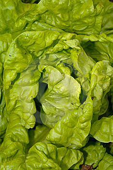 Lettuce Royalty Free Stock Photos - Image: 20147928