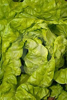 Lettuce Royalty Free Stock Photos - Image: 20147928