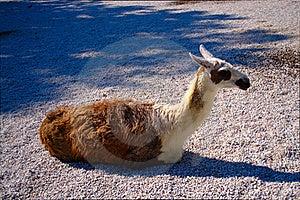 Lama Photo stock - Image: 20148780