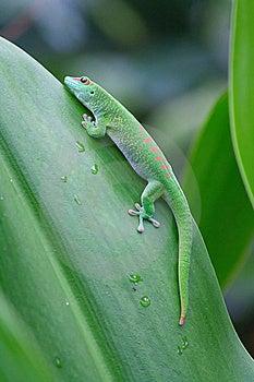 Green Gecko Royalty Free Stock Image - Image: 20150016