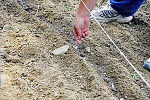Planting With A Guide Line Stock Photo - Image: 20152520