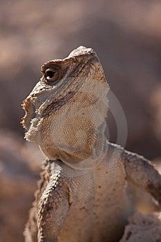 Lizard Stock Photo - Image: 20156750