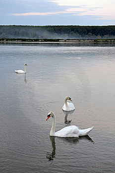 Swans In The Lake Stock Photography - Image: 20159992
