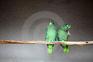 Parrots Royalty Free Stock Photos - Image: 20164228