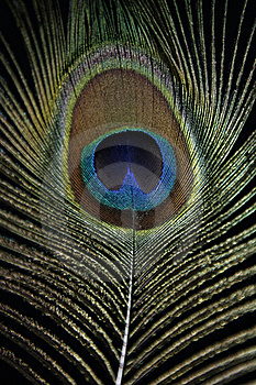 Peacock Feather Royalty Free Stock Image - Image: 20164596