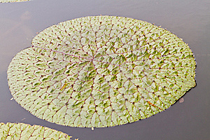 Lotus Leaves Royalty Free Stock Images - Image: 20165059
