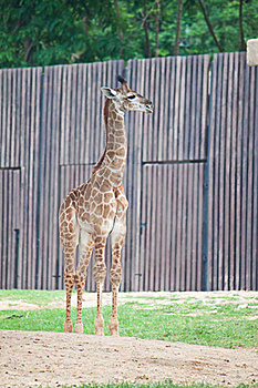 Young Giraffe Stock Photos - Image: 20169673