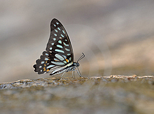 Butterfly ( Graphium Leechi) Stock Images - Image: 20170974