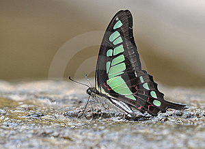Butterfly (Graphium Cloanthus) Royalty Free Stock Photo - Image: 20171005