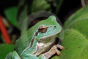Close Up Green Frog Royalty Free Stock Photos - Image: 20178268