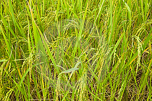 Growing Of Rice In The Farmland Stock Photography - Image: 20180842