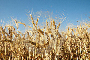 Golden Wheat Royalty Free Stock Image - Image: 20182466