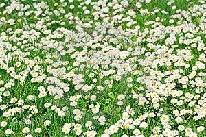 Field Of White Daisies Stock Photo - Image: 20183450