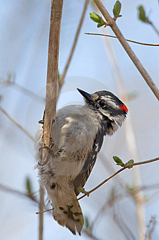 Downy Woodpecker Stock Photography - Image: 20196392