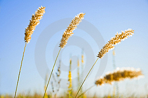 Weed Ears Against The Morning Sky Background Royalty Free Stock Images - Image: 20198269