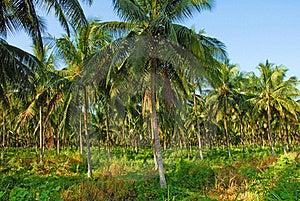 Coconut Grove Stock Image - Image: 20201461