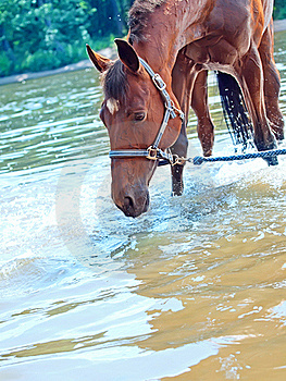 Nice Bay Mare In River Royalty Free Stock Images - Image: 20207069