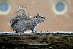 Squirrel Under The Rain Stock Photo - Image: 20228960