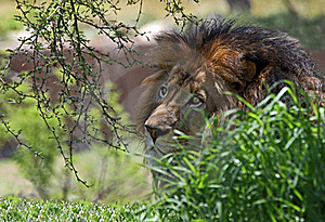 Lion Royalty Free Stock Images - Image: 20229149
