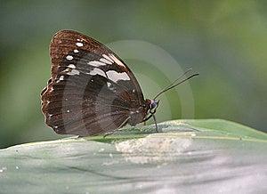 Eye Butterfly (Penthema Adelma Felder Stock Photography - Image: 20233312