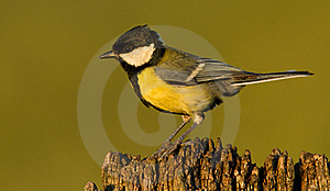 Great Tit Royalty Free Stock Image - Image: 20237576