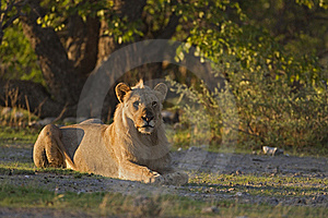 Young Male Lion Laying In Early Morning Sunlight Stock Images - Image: 20245384