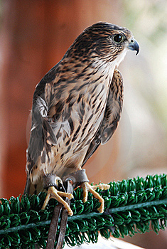 Rehabilitated Merlin Stock Photography - Image: 20249622