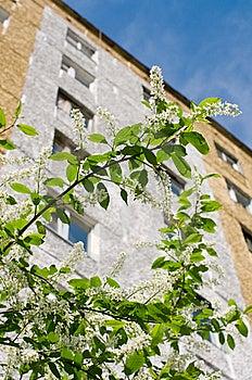 Flowering Bird Cherry Tree Royalty Free Stock Images - Image: 20250529