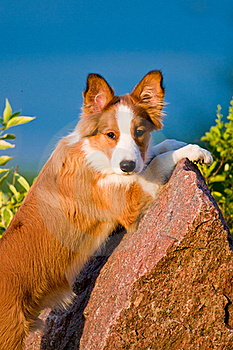 Portrait Of Young Border Collie Puppy In Sunset Stock Photography - Image: 20255882