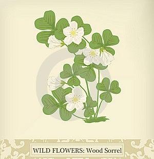 Wood Sorrel Royalty Free Stock Photos - Image: 20258438