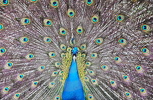 Peacock Royalty Free Stock Photography - Image: 20262937