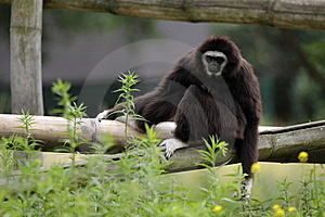White-handed Gibbon Royalty Free Stock Photo - Image: 20263685