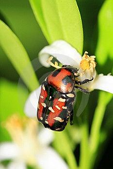Orange Back Beetle Stock Photography - Image: 20264222