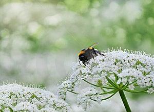 Honeybee Stock Image - Image: 20264841