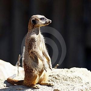The Meerkat Stock Image - Image: 20274771