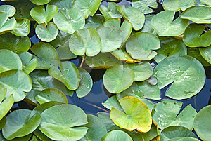 Green Lotus Leaves Stock Images - Image: 20280734