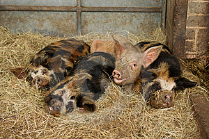 Sleepy Pigs Stock Photos - Image: 20282133