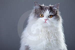Gray And White Persian Cat On Grey Background Stock Images - Image: 20282334