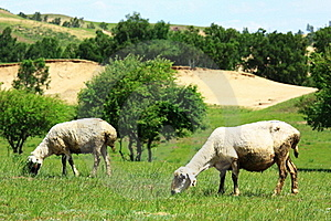 Sheep In The Grassland Stock Images - Image: 20283464