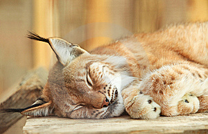Sommeil De Chat Sauvage Photographie stock - Image: 20285452