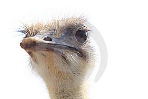 Ostrich Head Isolated Stock Photos - Image: 20285453