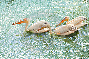 White Pelicans Wading In A Pond Royalty Free Stock Photography - Image: 20285457