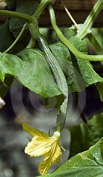 Growing Cucumber Stock Image - Image: 20295061
