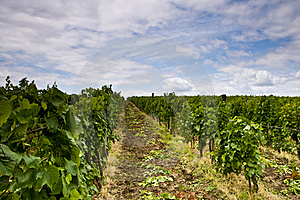 Vineyard And Blue Sky Royalty Free Stock Photos - Image: 20295738