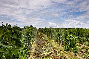 Vineyard And Blue Sky Royalty Free Stock Photos - Image: 20295738